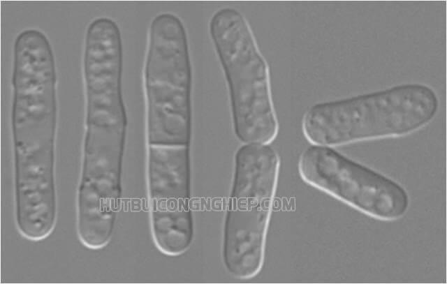 vi khuẩn sinh sản bằng cách
