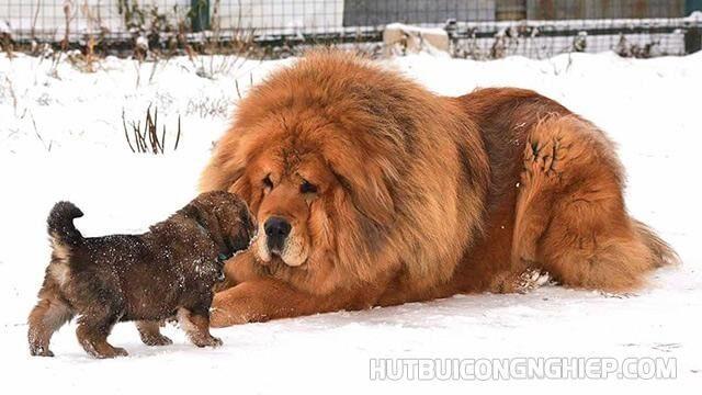 giống chó đắt nhất thế giới