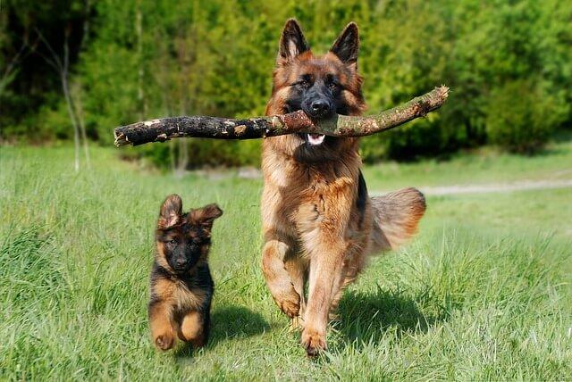 Top 10 giống chó đắt nhất thế giới có đại diện của Việt Nam