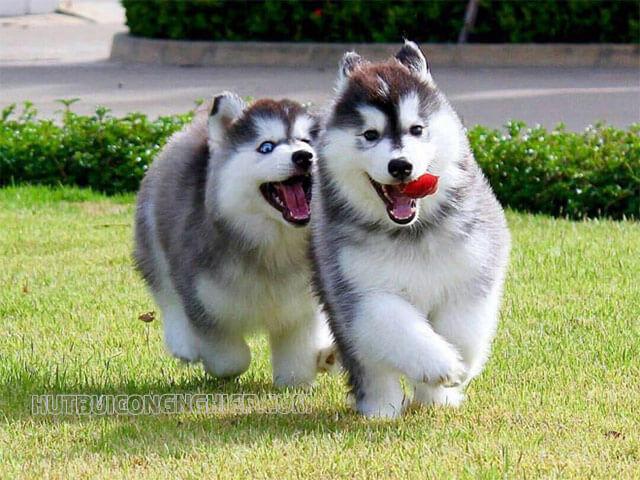 Những bí mật về giống chó Alaska có thể bạn chưa biết!