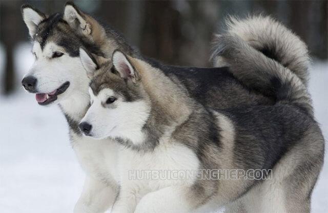 Chó Alaska trắng chơi đùa trong tuyết