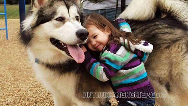 Chú chó Alaska đặc biệt quý mến trẻ em