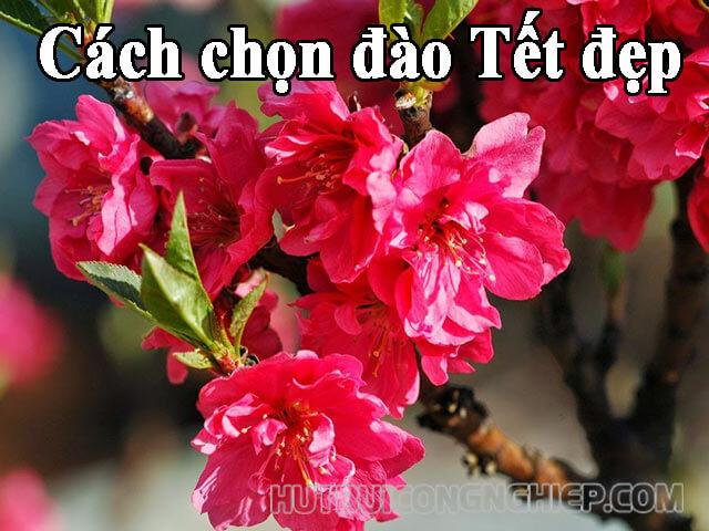 Cách chọn hoa đào ngày Tết và mẹo giữ hoa tươi lâu
